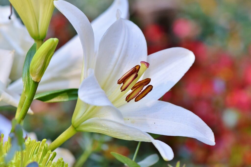 lily-3763573_1280