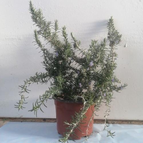 Δενδρολίβανο ημιέρπων - Rosmarinus officinalis prostratus