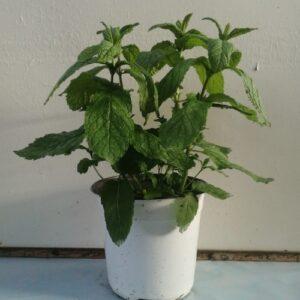Δυόσμος - Mentha spicata