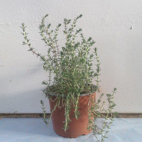 Θυμάρι Άγριο - Thymus capitatus