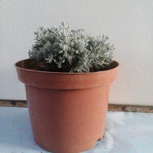Λεβαντίνη - Santolina chamaecyparissus
