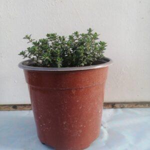 Λεμονοθύμαρο - Thymus Citriodorus