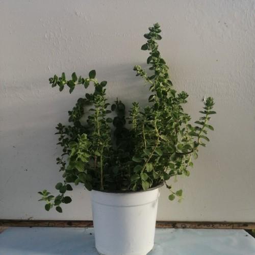 Ρίγανη - Origanum vulgare